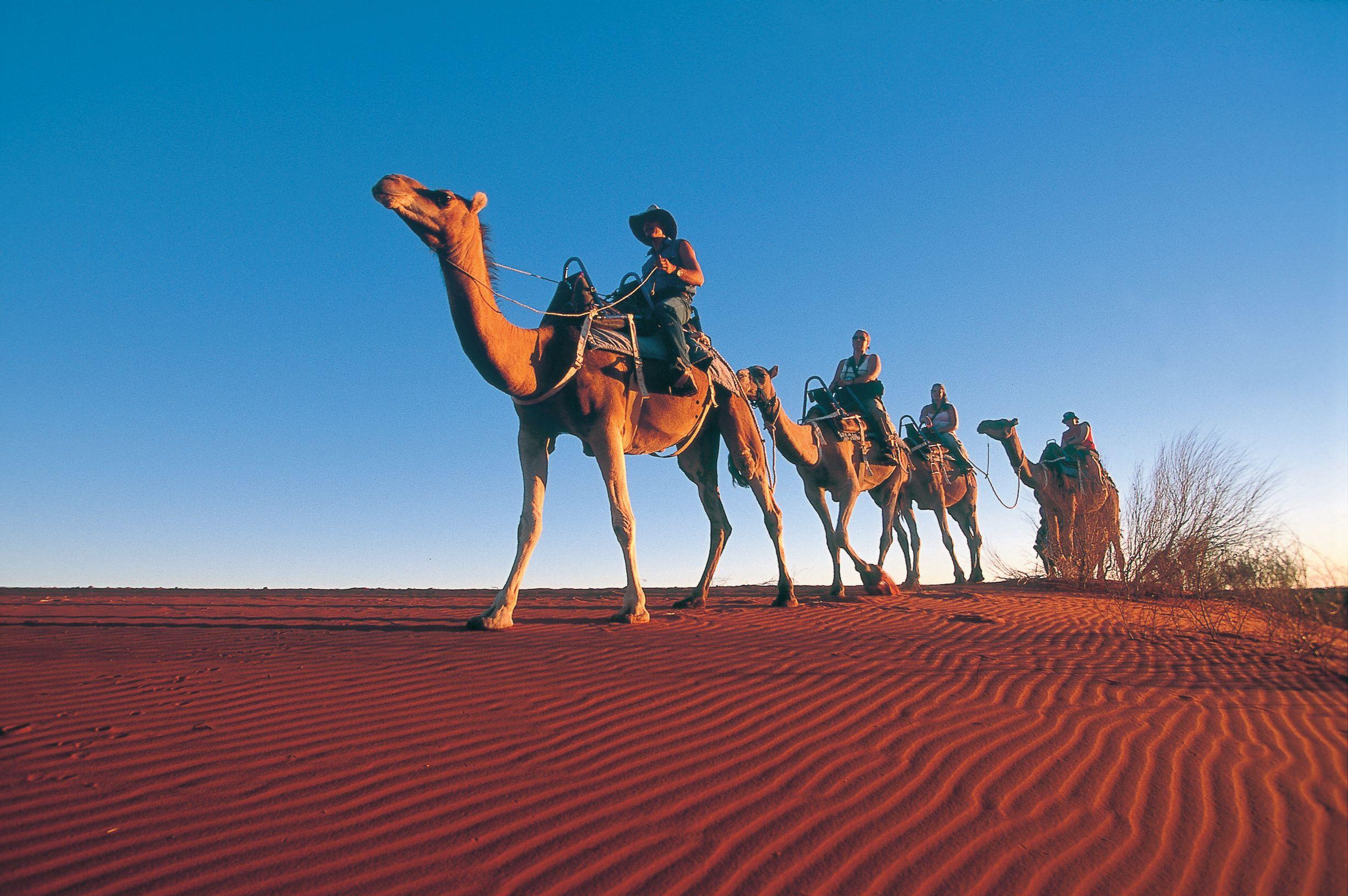Camels at Ayers Rock Resort
