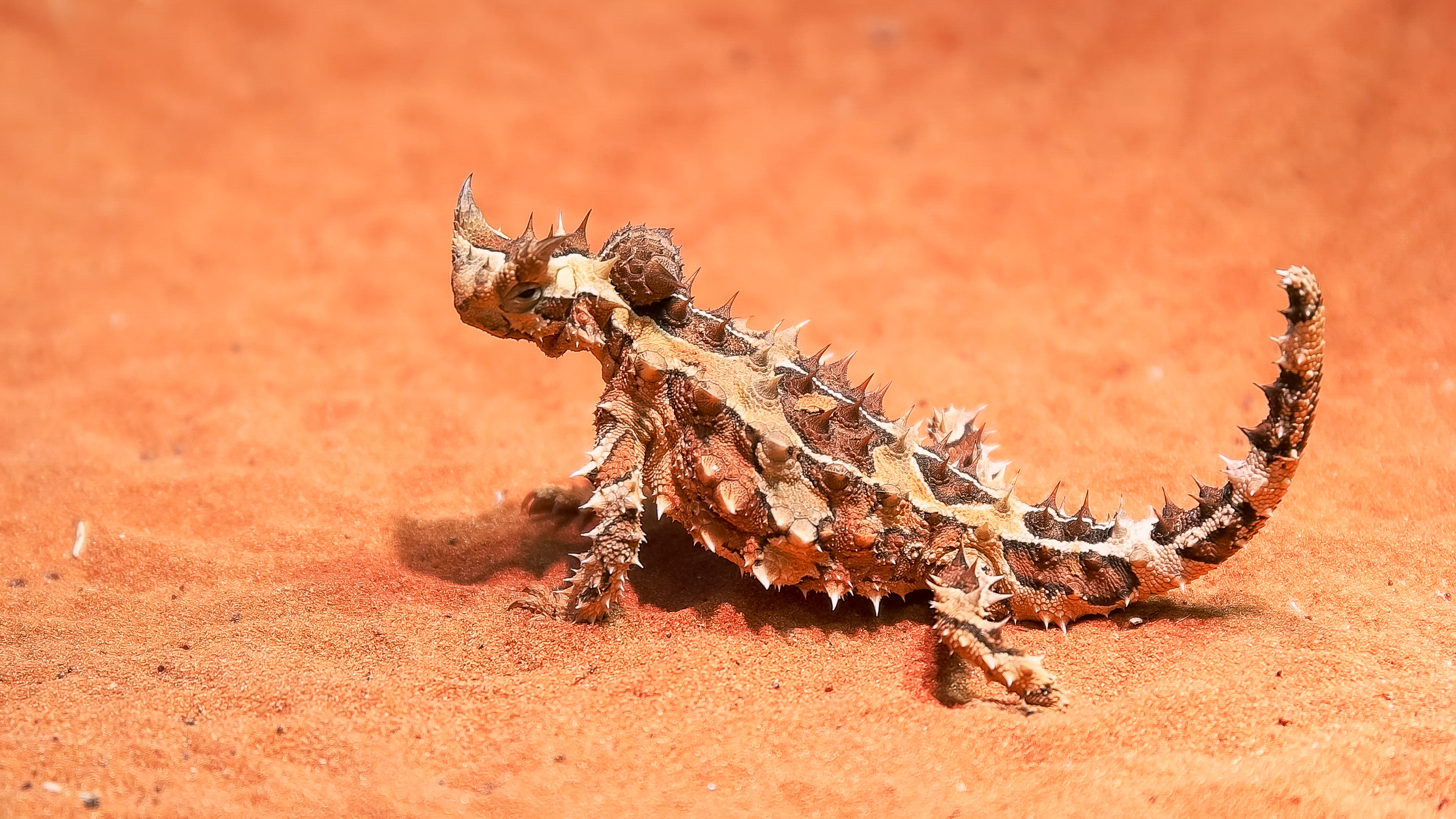 Australian thorny devil lizard turns its head and looks around