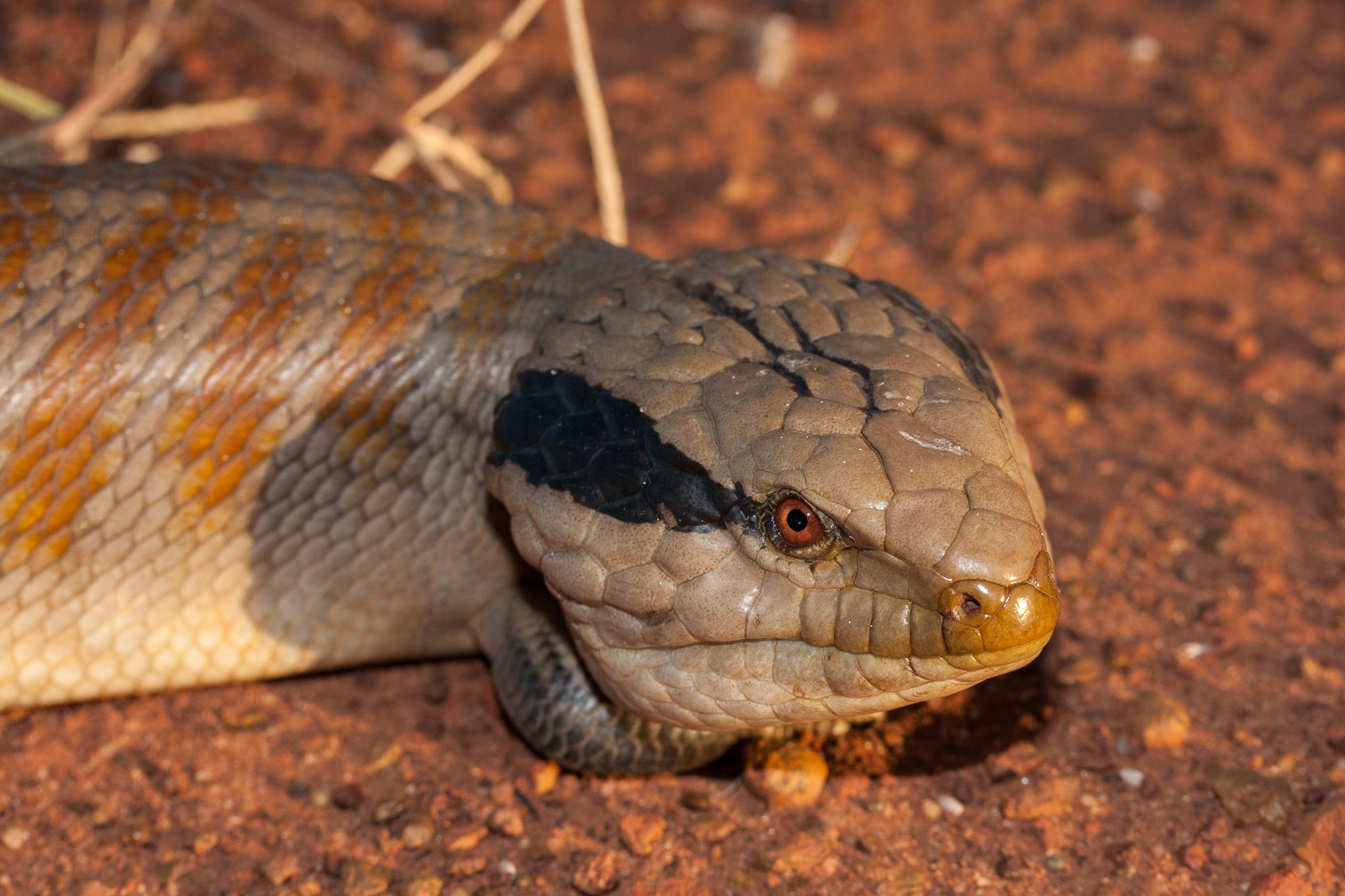 Centralian Blue-tongue Lizard resting on red earth