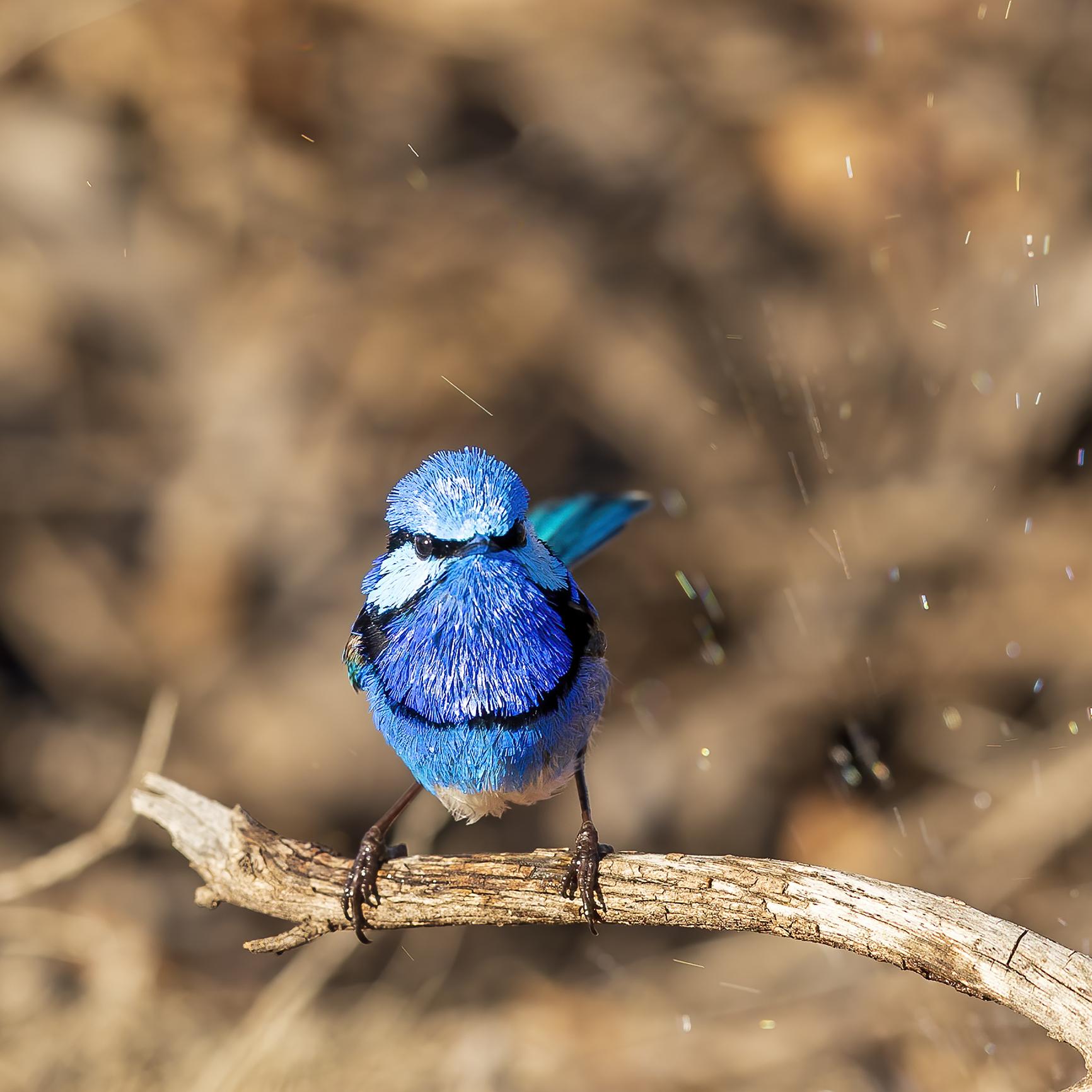 A male Splendid Fairywren with colourful breeding plumage