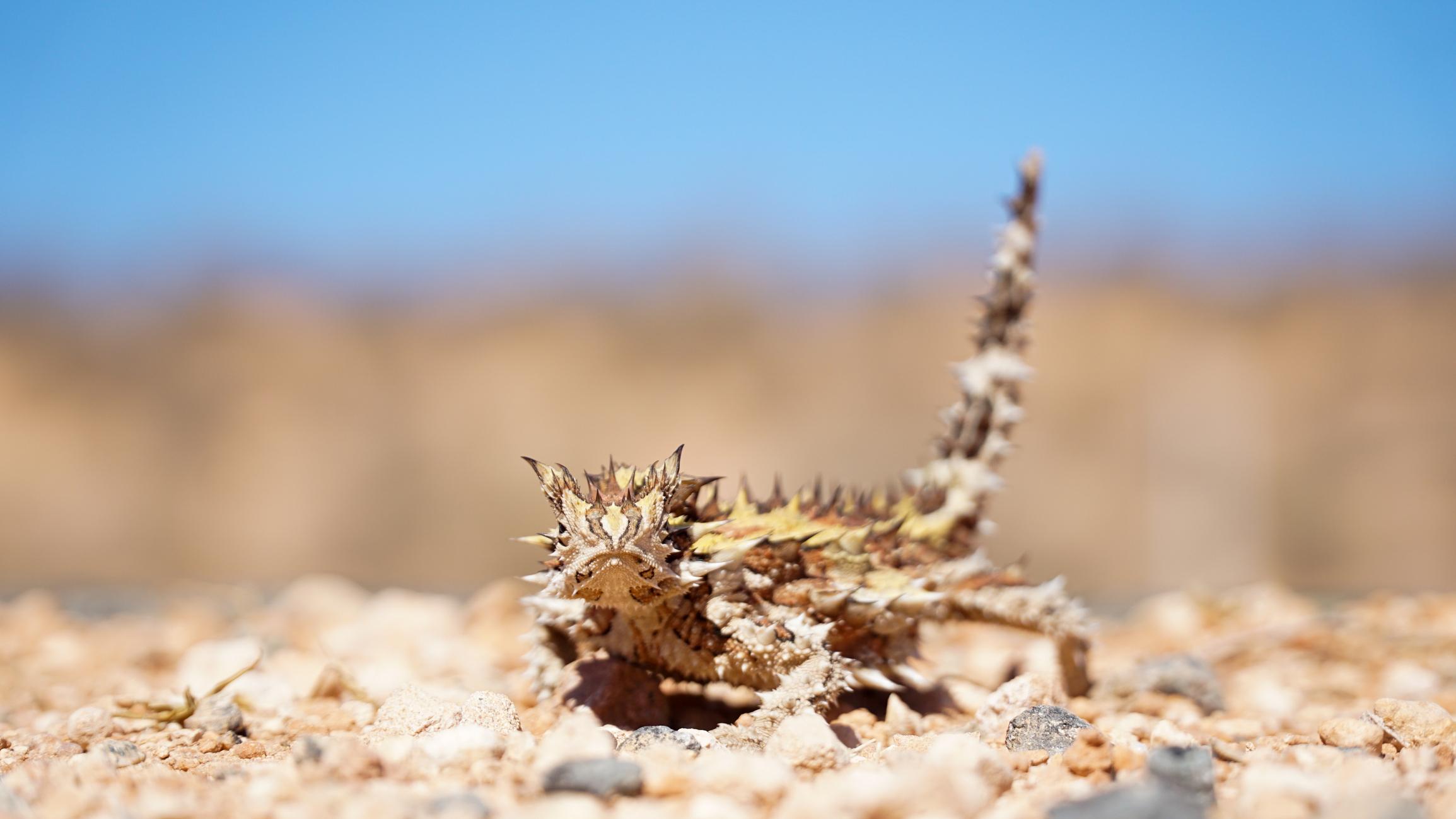 Thorny devil lizard walking on pebbles